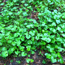 Violets growing in a group.